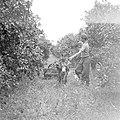 Transport van sinaasappelen per ezelwagen op een citrusplantage bij Pardes, Bestanddeelnr 255-1226.jpg