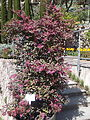 Trauttmansdorff gardens - Loropetalum chinense Burgundy 01.JPG