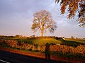 Tree at Crackstone - geograph.org.uk - 273339.jpg
