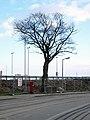 Tree by Tesco, Bangor (2) - geograph.org.uk - 756888.jpg