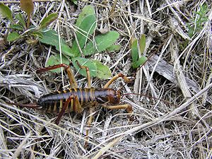 Weta - Female Wellington tree weta