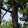 Treetop Woodpecker (7289459658).jpg