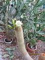 Trichocereus (Echinopsis) (3742914829).jpg