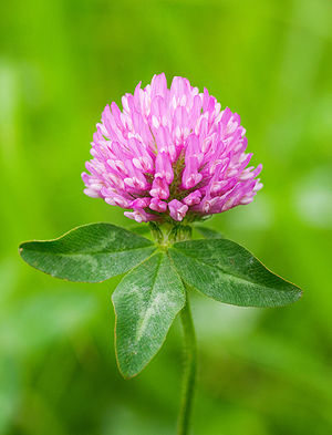 Trifolium pratense English: Red clover 日本語: ムラ...