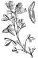 Trifolium squamosum - W H Fitch.png