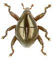 Trigonopterus subglabratus holotype - ZooKeys-280-001-g085.jpg