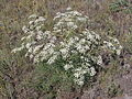 Trinia hispida (habitus) 1.jpg