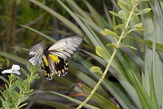 Troides amphrysus - Female