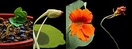 Tropaeolum majus-seedling-bud-flower20180(517 12723, 720 14161, 721 14182, 823 14320).jpg