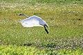 Trumpeter swan, Alaska Maritime Refuge (9195387912).jpg