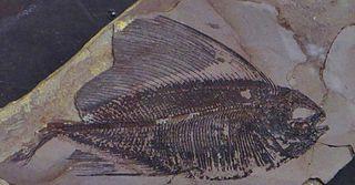 <i>Tselfatia</i> Extinct genus of fishes