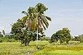 Tuaran Sabah Rice-paddies-02.jpg