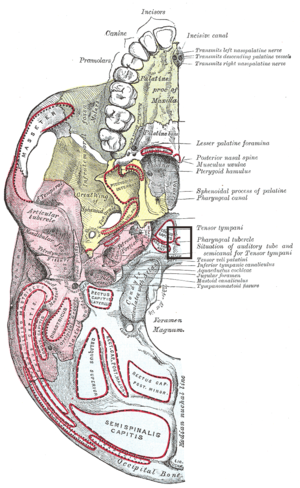 Pharyngeal tubercle - Base of skull. Inferior surface. (Pharyngeal tubercle labeled at right, eighth from the bottom.)