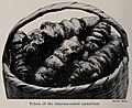 Tubers of the tuberous-rooted nasturtium, photo from The Encyclopedia of Food by Artemas Ward.jpg
