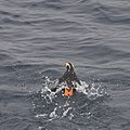 Tufted puffin (5968251806).jpg