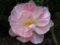 Tulipán Rosa doble (8451595426).jpg