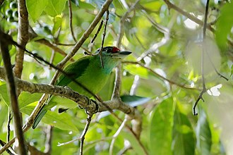 Turquoise-throated barbet - Image: Turquoise throated Barbet (33139941221)