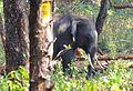 Tusker in Bandipur.jpg
