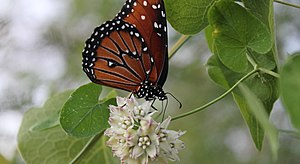 Queen (butterfly) - Queen butterfly feeding on Funastrum cynanchoides, Tucson, AZ