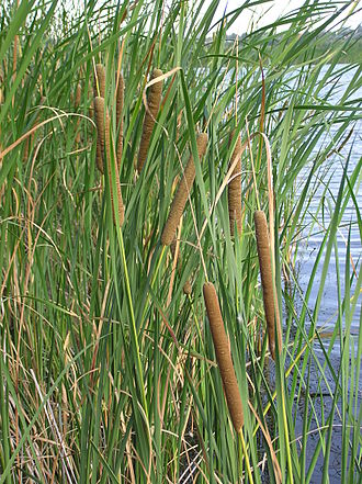 Typha angustifolia - Typha angustifolia, habitus