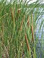 Typha angustifolia (habitus) 1.jpg