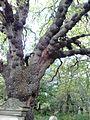 Ulmus glabra. Burrs or burls on trunk and branches. Dalry Cemetery, Edinburgh.jpg