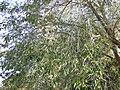 Ulmus pumila (5107231223).jpg