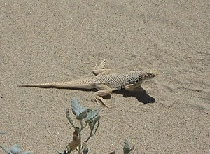 Mojave fringe-toed lizard - Image: Uma scoparia