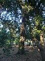 Una alzina als jardins de Can Sentmenat P1510550.jpg