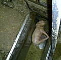 Undercover Investigation at Manitoba Pork Factory Farm (8251165476).jpg