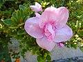 Unidentified Rhododendron.002 - Campañó.jpg