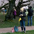 University of Washington Cherry Blossoms (33670655631).jpg