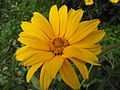 Unknown Helianthus flower.jpg