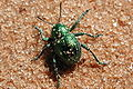 Unknown beetle (Marshal Hedin).jpg