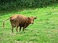 Urinating cow in Devon - geograph.org.uk - 881440.jpg