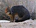 Urocyon cinereoargenteus grayFox cameo (cropped).jpg