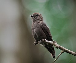 Ussher's Flycatcher.jpg