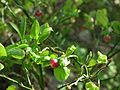 Vaccinium vitis-idaea in Wolinski National Park.JPG