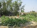 Vegetable field in a village in Bangladesh 4.JPG