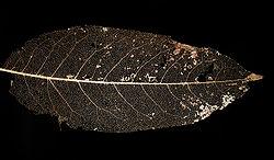 squelette filon d'une feuille (de-ghosted) .jpg