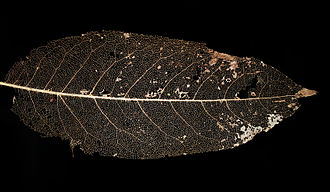 Leaf - Vein skeleton of a leaf. Veins contain lignin that make them harder to degrade for microorganisms.