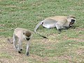 Vervet Monkeys, Ngorongoro Crater.jpg