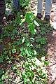 Viburnum acerifolium (15715617223).jpg