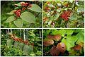 Viburnum furcatum in the forest, Sakhalin (8654220741).jpg