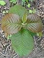 Viburnum lentago 01908.jpg