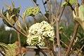 Viburnum x rhytido Alleghany 1zz.jpg