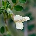 Vicia sylvatica-Vesce des bois-Fleur-20160417.jpg