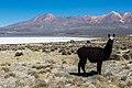 Vicuña (Vicugna vicugna), Laguna de Salinas, Arequipa, Perú, 2015-08-02, DD 47.JPG