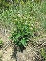 Vincetoxicum hirundinaria (subsp. hirundinaria) sl9.jpg
