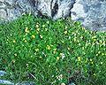 Viola biflora12072002.JPG